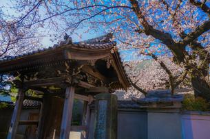 横浜市洪福寺の桜と晴天の空の写真素材 [FYI04088649]