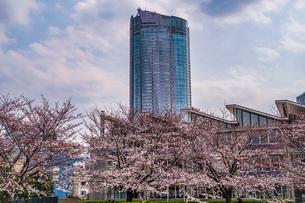 曇天の空と六本木の満開桜の写真素材 [FYI04088658]
