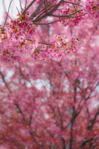 横浜市洪福寺の桜と晴天の空の写真素材 [FYI04088668]