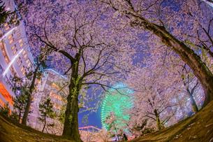 満開の夜桜とみなとみらいの夜景の写真素材 [FYI04088686]