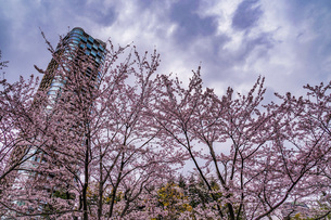 曇天の空と六本木の満開桜の写真素材 [FYI04088692]