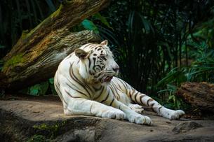 ジャングルに佇むホワイトタイガーの写真素材 [FYI04088696]