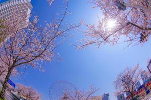 満開の桜と横浜みなとみらいの街並みの写真素材 [FYI04088703]