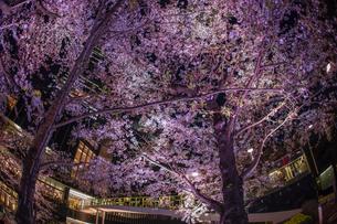 桜と東京ミッドタウンの写真素材 [FYI04088705]