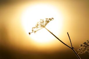 冬の枯れ草の写真素材 [FYI04088728]