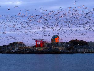 日本の風景!鳥居と朝日の中でのウミネコの群れ。の写真素材 [FYI04089075]