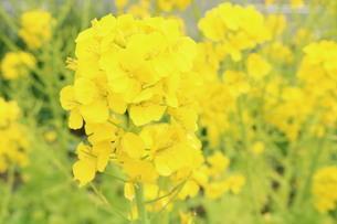 菜の花の写真素材 [FYI04089313]