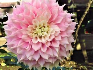 ピンクのダリアの写真素材 [FYI04089679]