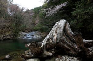 渓流にたどり着いた大きな切り株の写真素材 [FYI04089875]