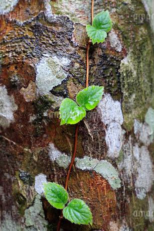 樹木の幹に張り付き成長するツル性の植物の写真素材 [FYI04089877]