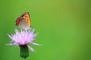 アザミの花で蜜を吸うベニシジミの写真素材 [FYI04089878]