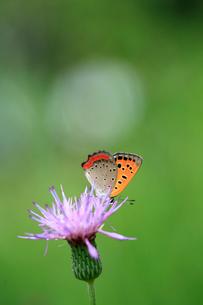 アザミの花で蜜を吸うベニシジミの写真素材 [FYI04089879]