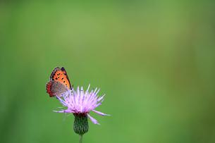 アザミの花で蜜を吸うベニシジミの写真素材 [FYI04089880]