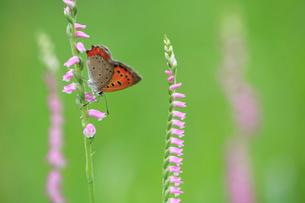 ネジバナの花に止まるベニシジミの写真素材 [FYI04089881]