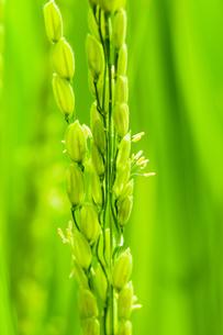 稲の花の写真素材 [FYI04090058]