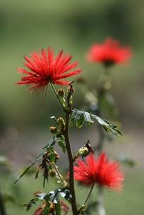 ブラジルで咲くカリアンドラの写真素材 [FYI04090079]