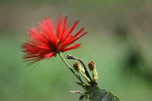 ブラジルで咲くカリアンドラの写真素材 [FYI04090081]