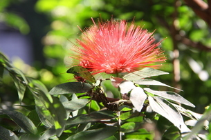 ブラジルで咲くカリアンドラの写真素材 [FYI04090082]
