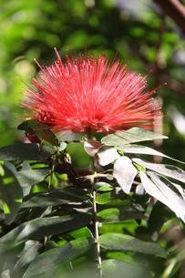ブラジルで咲くカリアンドラの写真素材 [FYI04090083]