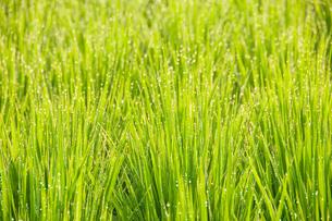 朝露輝く青田の稲の写真素材 [FYI04090291]