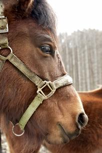 木曽馬の写真素材 [FYI04090395]