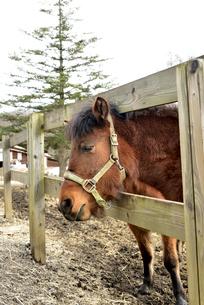 木曽馬の写真素材 [FYI04090396]