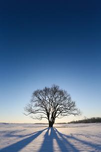ハルニレの木の写真素材 [FYI04090583]