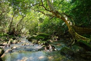 西表島のジャングルの写真素材 [FYI04090591]
