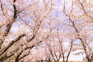 北海道 石狩市戸田記念公園の桜の写真素材 [FYI04090654]