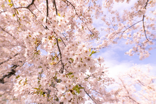 北海道 石狩市戸田記念公園の桜の写真素材 [FYI04090657]