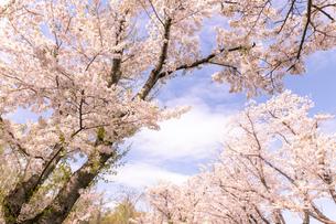 北海道 石狩市戸田記念公園の桜の写真素材 [FYI04090658]