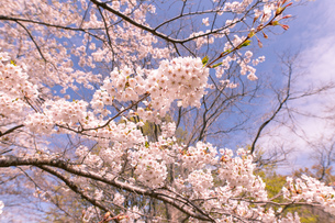 北海道 石狩市戸田記念公園の桜の写真素材 [FYI04090661]
