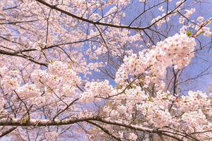 北海道 石狩市戸田記念公園の桜の写真素材 [FYI04090662]