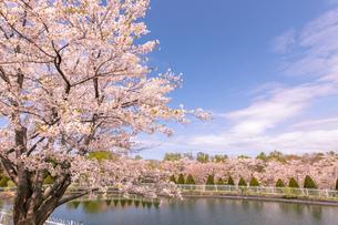 北海道 石狩市戸田記念公園の桜の写真素材 [FYI04090666]