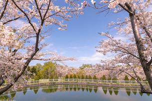 北海道 石狩市戸田記念公園の桜の写真素材 [FYI04090668]