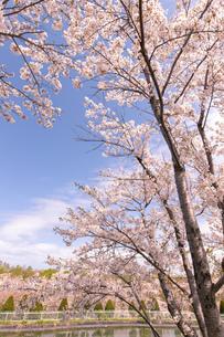 北海道 石狩市戸田記念公園の桜の写真素材 [FYI04090671]