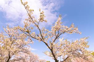 北海道 石狩市戸田記念公園の桜の写真素材 [FYI04090673]