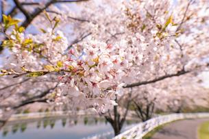 北海道 石狩市戸田記念公園の桜の写真素材 [FYI04090675]