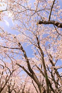 北海道 石狩市戸田記念公園の桜の写真素材 [FYI04090676]