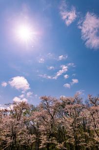 北海道 石狩市戸田記念公園の桜の写真素材 [FYI04090677]