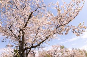 北海道 石狩戸田記念公園の桜の写真素材 [FYI04090681]