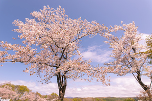 北海道 石狩市戸田記念公園の桜の写真素材 [FYI04090682]