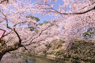 青森県 弘前公園の満開の桜の写真素材 [FYI04090684]