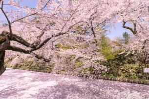 青森県 弘前公園の満開の桜の写真素材 [FYI04090686]