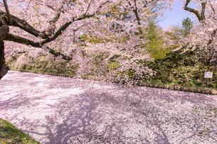 青森県 弘前公園の満開の桜の写真素材 [FYI04090687]