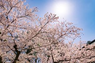 青森県 弘前公園の満開の桜の写真素材 [FYI04090688]