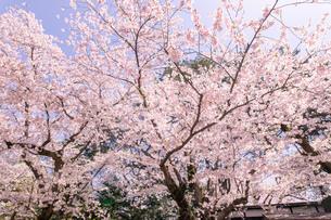 青森県 弘前公園の満開の桜の写真素材 [FYI04090689]