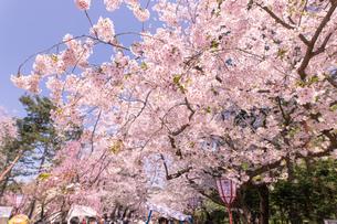青森県 弘前公園の満開の桜の写真素材 [FYI04090690]