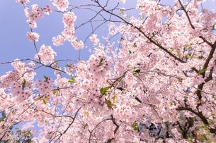 青森県 弘前公園の満開の桜の写真素材 [FYI04090691]