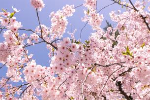 青森県 弘前公園の満開の桜の写真素材 [FYI04090692]